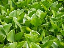 Wiązka zieleni wodnego hiacyntu Eichhornia crassipes opuszcza w zakończeniu up obraz stock