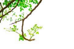 Wiązka zielone Końskiej rzodkwi Moringa zwiania liścia drzewne Oleifera flance na nim kapuje odosobnionego na białym tle Zdjęcie Stock
