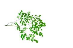 Wiązka zielone Końskiej rzodkwi Moringa zwiania liścia drzewne Oleifera flance na nim kapuje odosobnionego na białym tle Fotografia Stock