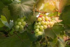 Wiązki świezi winogrona obraz royalty free