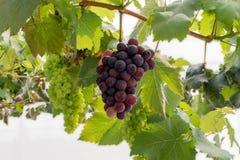 Wiązki świezi winogrona zdjęcia stock
