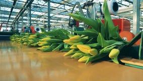 Wiązki żółci tulipany poruszający na linii w nowożytnym greehouse zbiory