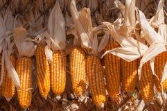 Wiązki żywy organicznie naturalny wysuszony uncooked dojrzały złoty wrzeszczą Zdjęcia Royalty Free