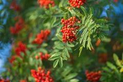 Wiązki ashberry pogodny letni dzień Zdjęcie Stock