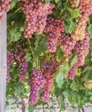 Wiązki Czerwonej kuli ziemskiej Stołowi winogrona Zdjęcie Royalty Free