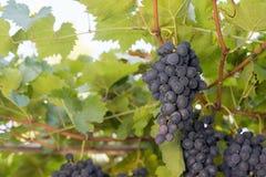 Wiązki czerwonych win winogrona r w Włoskich polach Zamyka w górę widoku świeży czerwonego wina winogrono winogron wiązek czerwon Fotografia Royalty Free