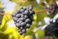 Wiązki czerwonych win winogrona r w Włoskich polach Zamyka w górę widoku świeży czerwonego wina winogrono winogron wiązek czerwon Obraz Stock