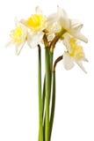 wiązki daffodil kwiatu wiosna biel obraz stock