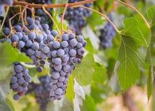 Wiązki purpurowi win winogrona wiesza od winorośli w późnym lecie zdjęcia stock