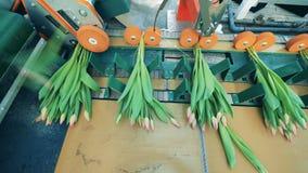 Wiązki różowi tulipany poruszający na nowożytnym konwejerze w szklarni zbiory