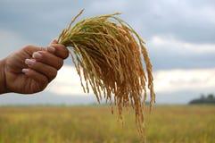 Wiązki ryż w powietrzu obrazy royalty free