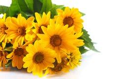 wiązki stokrotka kwitnie kolor żółty Zdjęcia Stock