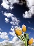 wiązki tulipanów kolor żółty Fotografia Stock