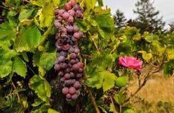 Wiązki win winogrona r w winnicy Zdjęcia Stock