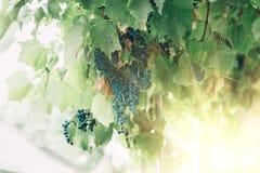 Wiązki win winogrona wiesza na winie w późnego popołudnia słońcu obraz royalty free