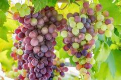 Wiązki winogrona zdjęcia royalty free