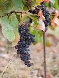 Wiązki winogrona na winogradzie obrazy royalty free