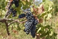 Wiązki winogrona wiesza w słońcu Fotografia Royalty Free