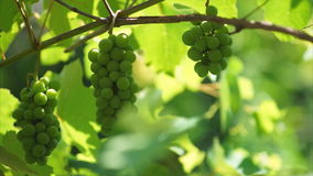 Wiązki winogrono ruch zbiory