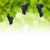 wiązki zieleń opuszczać winogradu zdjęcia stock
