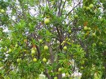 Wiązki zieleni surowa round owoc samobójstwa drzewo fotografia stock