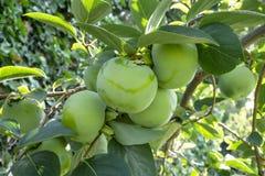 Wiązki zielone surowe Persimmon round owoc i zieleń liście, kown jako heban owoc, są jadalnym rośliną fotografia stock