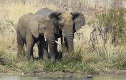 więź Afrykański krzaka słoń, Loxodonta africana Fotografia Royalty Free