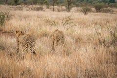 Więź uczuciowa gepardy w Kruger parku narodowym, Południowa Afryka Fotografia Royalty Free