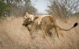 Więź uczuciowa lwy Zdjęcie Stock