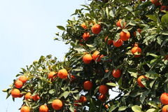 więcej pomarańcze Obrazy Royalty Free