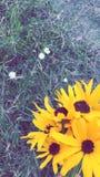 Więcej słoneczniki obrazy stock