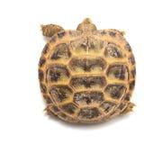 więcej tła mojego portfolio widzi żółwia white Obrazy Stock