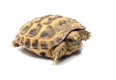 więcej tła mojego portfolio widzi żółwia white Zdjęcia Stock