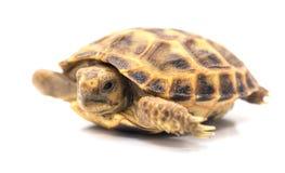 więcej tła mojego portfolio widzi żółwia white Obraz Royalty Free