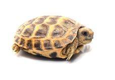 więcej tła mojego portfolio widzi żółwia white Fotografia Royalty Free