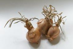 Więdnąć cebule zdjęcie royalty free