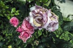 więdnąć i potomstwo menchii róży kwiaty Obrazy Stock