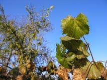 Więdnąć na winogradów liściach Zdjęcie Royalty Free