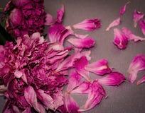 Więdnąć peonie Umierał kwiaty Pojęcia gnicie, śmierć, końcówka Obrazy Royalty Free