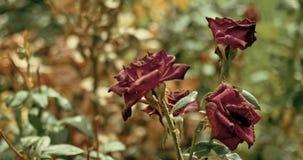 Więdnąć róże w jesieni ogrodowy zamykać na wiatrze zdjęcie wideo