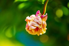 Więdnąca menchii róża odizolowywająca na zielonym tle Fotografia Royalty Free