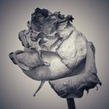Więdnąca róża czarny i biały Fotografia Stock