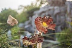 Więdnący żółtego brązu lotosu liść fotografia stock