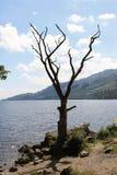 Więdnący drzewo przy jeziorem w Szkockich średniogórzach Zdjęcie Stock
