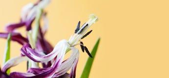 Więdnący fiołkowi płatków kwiaty Makro- widoków tulipanów słupkowie stamen w pełni otwierający ziarna, żółty tło Rośliny póżniej Fotografia Royalty Free