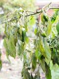 Więdnący jarzynowi drzewa na gospodarstwie rolnym zimnem czy Dzwonkowy pieprz Fotografia Royalty Free