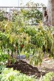 Więdnący jarzynowi drzewa na gospodarstwie rolnym zimnem czy, shishitou Zdjęcie Royalty Free