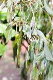 Więdnący jarzynowi drzewa na gospodarstwie rolnym zimnem czy, shishitou Obraz Royalty Free