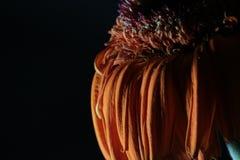 Więdnący kwiatu gerbera na czerni zdjęcie stock