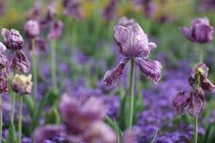 Więdnący kwiaty purpurowi tulipany Obraz Stock
